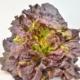 Batavia Salat rot